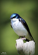 Shamik Tobin - Tree Swallow