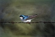 Tree Swallow Print by Vickie Emms