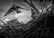 Animal Prints - Tree Swallows in nest Print by Bob Orsillo