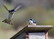 Swallows Posters - Tree Swallows Poster by Randy Hall