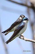 All - Tree Swallows by Sarah  Lalonde