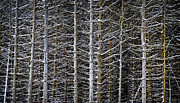 Winter Abstract Prints - Tree trunks in winter Print by Elena Elisseeva