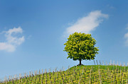 Blue Areas Posters - Tree vineyard and blue sky Poster by Matthias Hauser