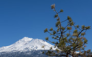 Mount Shasta Photos - Tree with a View by Loree Johnson