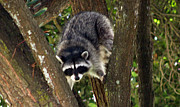 Raccoon Art - Treed by Bob Hislop