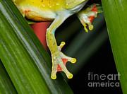 Martin Shields - Treefrog Foot