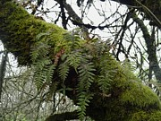 Bottomlands Photo Prints - Trees and Ferns and Moss Ecosystem Print by Lizbeth Bostrom