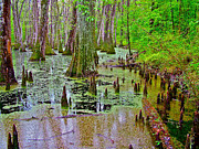 Natchez Trace Posters - Trees and Knees of Water Tupelo/Cypress Swamp at Mile 122 along Natchez Trace Parkway-MS Poster by Ruth Hager