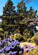 Manley Framed Prints - Trees in Brookings Oregon Framed Print by Rafael Escalios