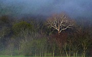 Trees In Fog 4 Print by Dena Kidd