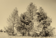 Peter Fodor - Trees in sepia tone