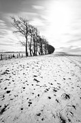 Snow Falling Prints - Trees in snow Scotland ii Print by John Farnan