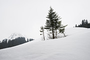 Conifer Tree Prints - Trees in winter Print by Matthias Hauser