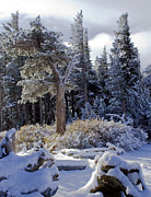 Snow Scene Metal Prints - Trees of McLeod Metal Print by Chris Brannen