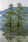 Green Day Art - Trees on a flooding alpine lake by Mats Silvan