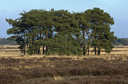 Natuur Photos - Trees on heath by Guido Koppes