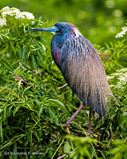 Christopher Holmes Photo Metal Prints - Tri-Color Heron Metal Print by Christopher Holmes