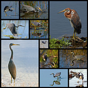 Collage Prints - Tri-Color Heron Collage Print by Dawn Currie