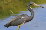 Tri-colored Heron Framed Prints - Tri Colored 71413 Framed Print by Deborah Benoit