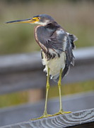 Amber Bobbitt - Tri-Colored Heron