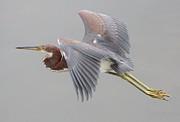 Paulette  Thomas - Tri Colored Heron in Flight