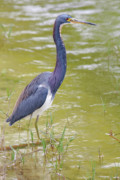 Tri-colored Heron Photos - Tri Colored In Lake by Deborah Benoit