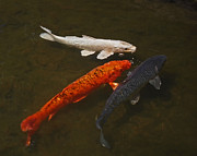 Tri Colored Framed Prints - Tri-colored Koi Framed Print by Rona Black