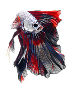 Betta Framed Prints - Tricolor Betta Fish Framed Print by Visarute Angkatavanich