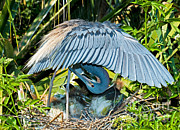 Louisiana Heron Framed Prints - Tricolor Heron Adult Preening Framed Print by Millard H. Sharp