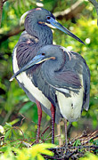 Egretta Tricolor Posters - Tricolor Heron Adults In Breeding Poster by Millard H. Sharp