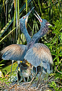 Egretta Tricolor Posters - Tricolor Heron Male And Female Courtship Poster by Millard H. Sharp