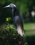 David Lynch Photo Prints - Tricolored Heron 11X14 Print by David Lynch