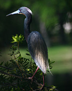 David Lynch Photo Prints - Tricolored Heron 16X20 Print by David Lynch