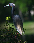 David Lynch Photo Prints - Tricolored Heron 8X10 Print by David Lynch