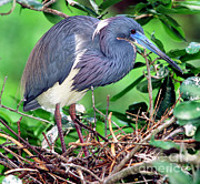 Breeding Posters - Tricolored Heron Egretta Tricolor Poster by Millard H. Sharp