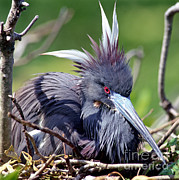 Egg On Posters - Tricolored Heron Female Incubating Eggs Poster by Millard H. Sharp