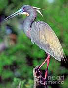 Louisiana Heron Framed Prints - Tricolored Heron In Breeding Plumage Framed Print by Millard H. Sharp