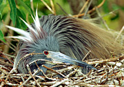 Egretta Tricolor Posters - Tricolored Heron Incubating Eggs Poster by Millard H. Sharp