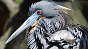Lydia Holly - Tricolored Heron