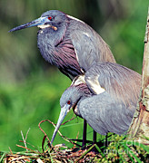 Egretta Tricolor Posters - Tricolored Heron Male And Female At Nest Poster by Millard H. Sharp