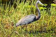 Natural Focal Point Photography - TriColored Heron