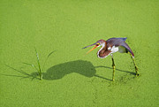 Tri Colored Heron Photos - TriColored on Green by Patrick M Lynch