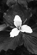 Cari Gesch Metal Prints - Trillium in Black and White Metal Print by Cari Gesch