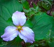 Money Photo Originals - Trillium by Jamie Johnson