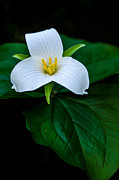 Brian Xavier - Trillium ovatum