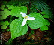 Christopher Fridley Art - Trillium ovatum by Christopher Fridley