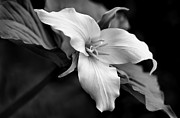 Native Plant Posters - Trillium Wild Flower Black and White Poster by Jennie Marie Schell