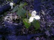 Claire Bull - Trilliums