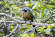 Hugh Stickney - Trinidad Motmot in Tobago