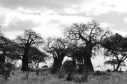 East Africa Framed Prints - Trio of Baobabs Kenya Framed Print by Tom Wurl